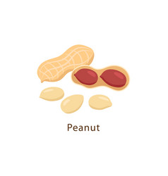 Peanut isolated on white background vector