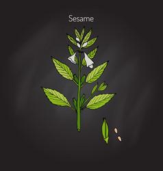 Sesame sesamum orientale vector