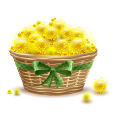 yellow mimosa flowers full wicker basket vector image