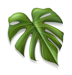 Single tropical leaf monstera plant isolated on vector