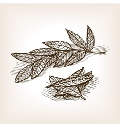 Bay leaves hand drawn sketch style vector image vector image