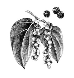 Hand drawn black pepper plant vector