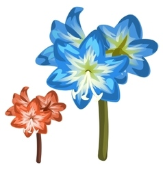 Blue and red flower closeup on white background vector image