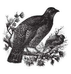 Dusky grouse vintage vector