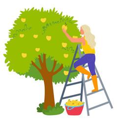 harvesting apples fruit tree gardening vector image