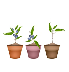 Olive Grove Plants in Ceramic Flower Pots vector image