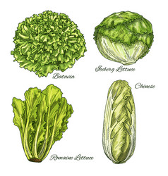 Cabbage and lettuce vegetable isoletad sketch vector