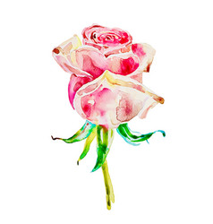 Original watercolor painting of rose isolated on a vector