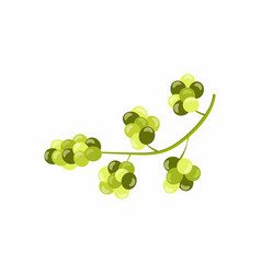 grape vine with green grapes isolated on white vector image