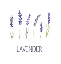 lavender flower designer for design logo vector image