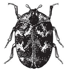 Adult common carpet beetle vintage vector