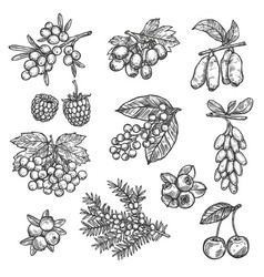 Farm and forest sketch berries harvest vector