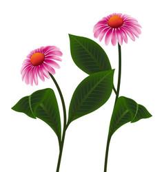 pink cone flower of echinacea purpurea purpur vector image