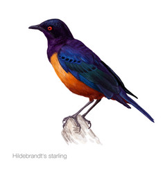hildebrandts starling hand drawn vector image