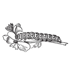 Larva of cucullia verbasci vintage vector