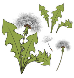 Set of color images with a dandelion vector