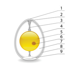 structure of an egg vector image