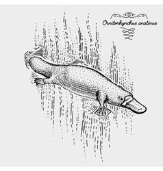 platypus engraved hand drawn vector image vector image