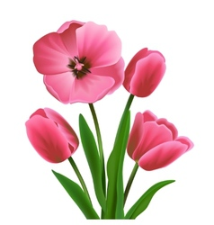 Tulip flower pink vector image