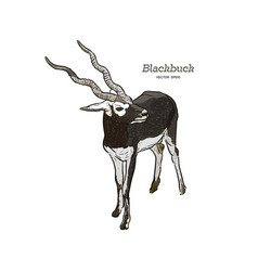 Antelope series blackbuck vector