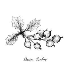 Hand drawn of darwins barberries on white backgrou vector