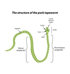 The structure of the pork tapeworm vector image