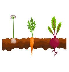vegetables growing in ground one line beet vector image