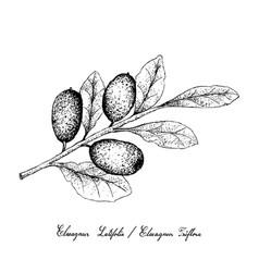 hand drawn of elaeagnus ebbingei fruits on white b vector image