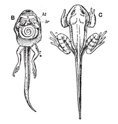 Inside and outside view of tadpole during vector