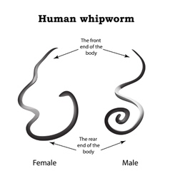Whipworm Structure whipworm females The vector image