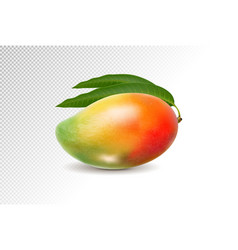 3d realistic orange red green mango on transparent vector