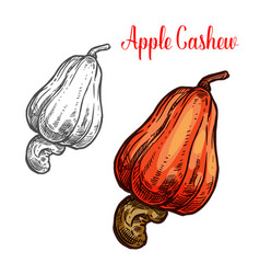 Apple cashew fruit with ripe nut sketch vector
