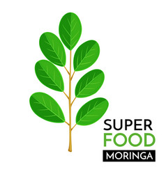 moringa icon vector image