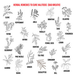 best medicinal herbs to cure halitosis vector image