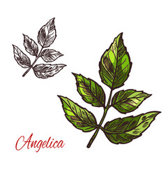 Angelica spice herb sketch plant icon vector