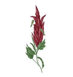 Detailed botanical drawing quinoa or amaranth vector