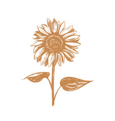 sunflower sketch vector image