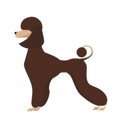 Isolated adorable chocolate young poodle vector image vector image