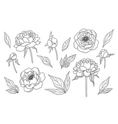 contoured simple peony flowers buds and leaves set vector image
