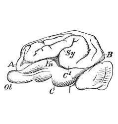 Pig brain vintage vector