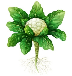 Cauliflower with leaves and roots vector