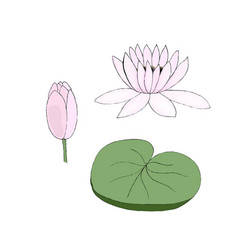 color of lotus bud and leaf on vector image