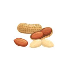 Goober nut groundnut or peanut isolated vector