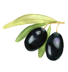 Watercolor of two black olives vector
