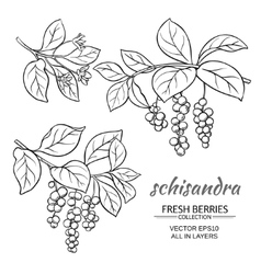 Schisandra set vector