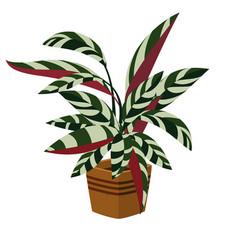 stromansanguinea indoor plant in pot vector image