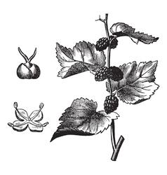 Black mulberry vintage engraving vector