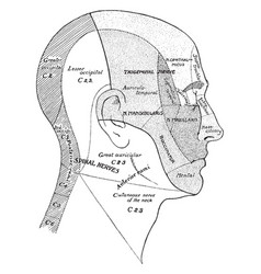 surface areas of nerves of the head and neck vector image