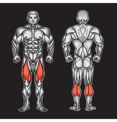 Anatomy of male muscular system exercise and vector image vector image