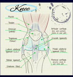 structure of the human knee vector image vector image